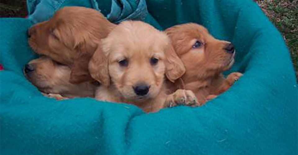 Minnesota Golden Retriever Breeder | Golden Retriever ...